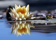 1024px-Flower_reflection